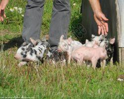 La Ferme des Blancs - Colombier-en-Brionnais - Elevage de porcs en plein air